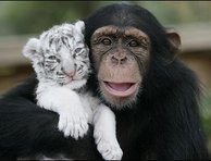 chimpanzee-and-tiger-best-friends